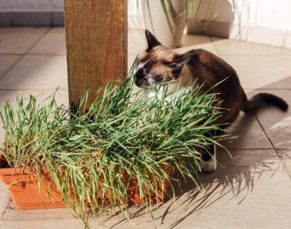 Por que cães e gatos comem grama?